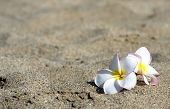 flowers Plumeria alba on the sandy