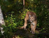 picture of cougar  - Cougar standing on rock in early morning sun - JPG