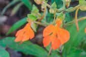 Habennaria Rhodocchelia Hance From Rainforest
