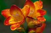 Beautiful freesia flowers with water drops and green insect on it