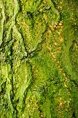 Background Of Bark Of Ginkgo Tree, Ginkgo Biloba, Closeup