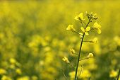 image of rape-seed  - oilseed rape  - JPG