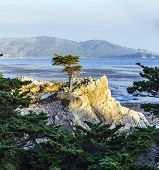 Lonely Cypress Tree In California