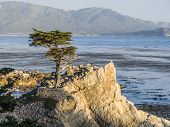 Cypress At The Coastline