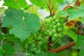 Green Delicious Grape