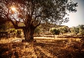 stock photo of olive trees  - Big beautiful olive tree - JPG