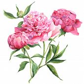 Постер, плакат: Pink peonies botanical watercolor illustration