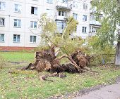 Uprooted poplar after Hurricane Zelenogorsk