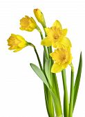 stock photo of yellow flower  - Spring yellow daffodil flowers isolated on white background - JPG