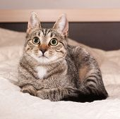 Tabby Kitten Lying On Bed