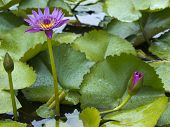 water lilies blooming in a garden pond