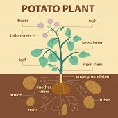 foto of root-crops  - illustration showing parts of potato platnt  - JPG
