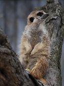Meerkat posing on a tree