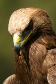 Close-up Of Golden Eagle With Head Down