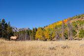 Bull Elk in Fall landscape