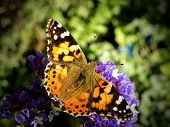 Painted Lady Butterfly 5