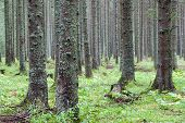 spruce forest,  Fairy Forest, untouched spruce forest