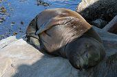 Seal Sleeping On The Rocks