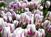 white and pink tulips growing  in garden