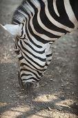head of a zebra
