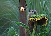 pic of groundhog  - Wood chuck  - JPG