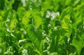Green salad field