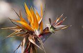 Bird Of Paradise And Humming Bird