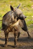 image of hyenas  - Brown hyena standing on ground looking to the right - JPG