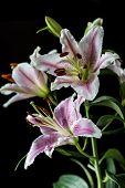 Oriental Lily , Lilium Cernuum
