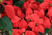 pic of poinsettia  - closeup of red poinsettia christmas flower  at garden - JPG