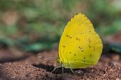 Common Grass Yellow ,butterfly Seek Mineral On Soil.