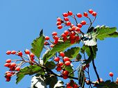 Red Berries On The Tree In Sky Background