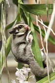stock photo of possum  - little sugar glider climb on the orchid - JPG