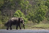 wild asian elephant crossing the river, at Bardia national park, Nepal