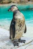Humboldt Penguin With Its Eyes Closed.