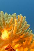 Coral Reef With Great Yellow Soft Coral On The Bottom Of Tropical Sea  On Blue Water Background