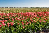 Flowering Red Tulip Bulbs In Springtime