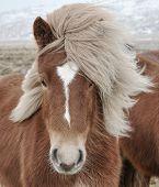 Icelandic Horse (Equus ferus caballus) closeup, staring at camera.