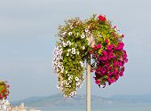 stock photo of petunia  - Beautiful display of pink white and red petunias on a pole summer day at the coast - JPG