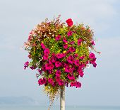 picture of petunia  - Beautiful display of pink petunias on a pole summer day at the coast - JPG