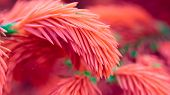 Coral Pink Spruce Branches Close-up (16:9 Aspect Ratio)