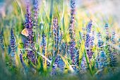 Butterfly on meadow purple flowers