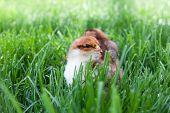 Fluffy Chicks Explore The Green Grass