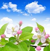 Spring blossoms apple tree