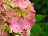 Fresh Blossom Hydrangea Flowers