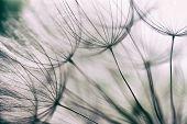Vintage Abstract Dandelion Flower Background,