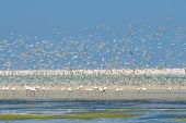 Flock Of Flamingos Wading In Shallow Lagoon Water With Swarm Of Terns