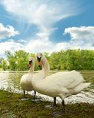 Swans By A Lake