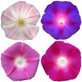 4 Petunia Flowers Collection Isolated Over White Background