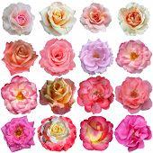 16 Rose Flowers Isolated On White Background